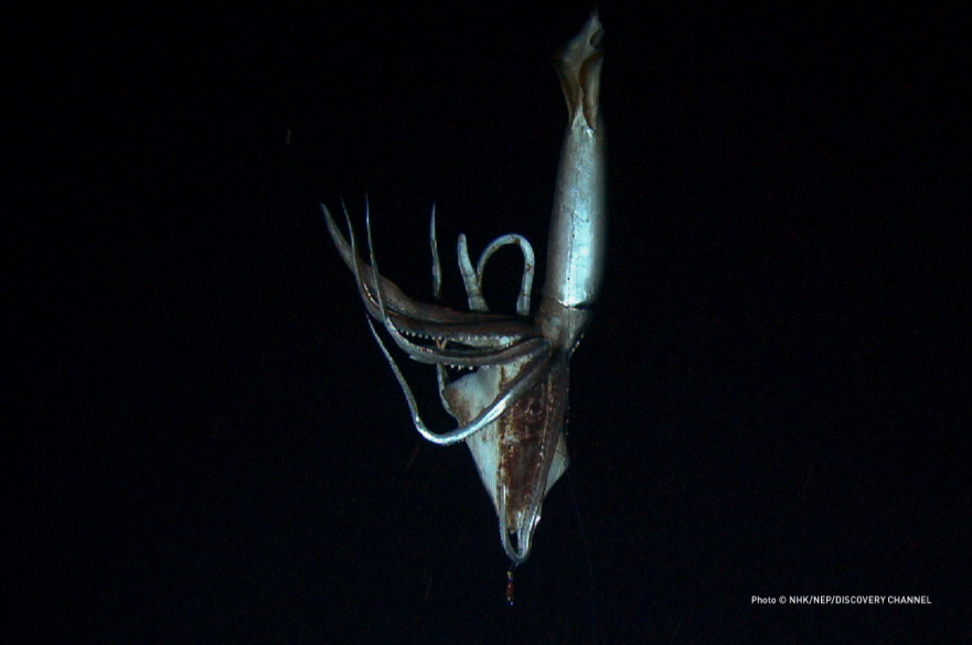 ダイオウイカ/NHK「世界初撮影! 深海の超巨大イカ」より